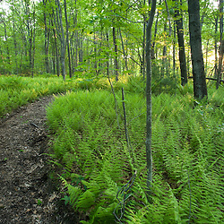 Ferns and a trail in Grafton, Massachusetts. .Hassanamesitt Woods.  Worceseter County.