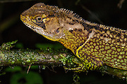 Bocourts Dwarf Iguana (Enyalioides heterolepis)<br /> Mashpi Rainforest Biodiversity Reserve<br /> Pichincha<br /> Ecuador<br /> South America
