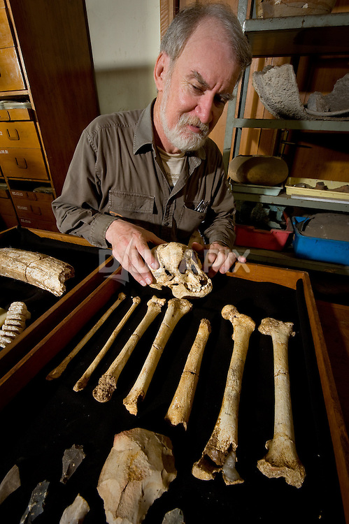 Dr. Mike Morwood examines the skull and long bones of LB1, the type specimen for Homo floresiensis, aka, the Flores hobbit, in Jakarta. The hobbit's stone tools and remains of its favorite meal -- young dwarf Stegodon (resembling a cow-sized elephant) are seen nearby.