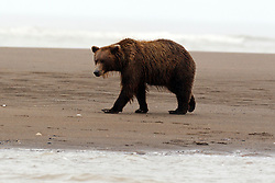 North American brown bear /  coastal grizzly bear (Ursus arctos horribilis) sow walking on a sandy beach between Cook Inlet and Silver Salmon Creek, Lake Clark National Park, Alaska, United States of America