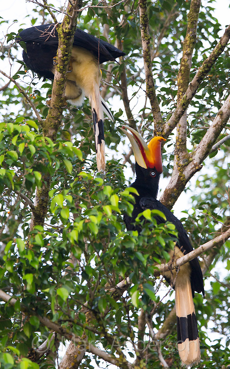 Rhinoceros Hornbill (Buceros rhinoceros) in a rainforest tree, Taman Negara National Park,  Malaysia