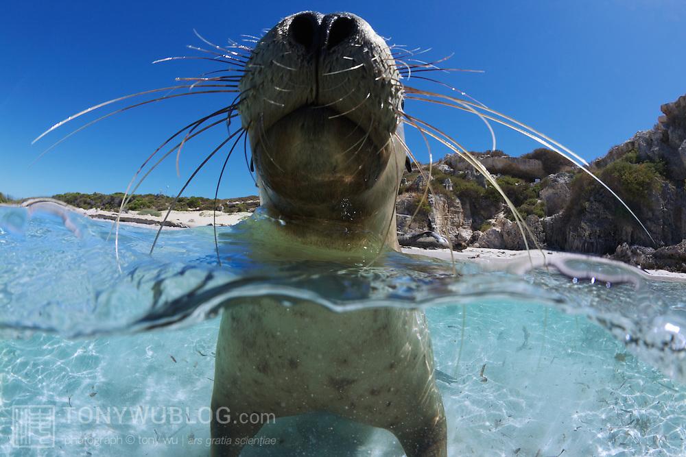 Juvenile Australian sea lion taking a break in the surf zone of Carnac Island in Western Australia, showing off lots of whiskers