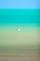 A Pelican swims in the aquamarine waters off Flinders Beach, a remote beach on the west coast of Cape York in far northern Australia..