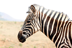 LOUWSBURG - 7 October 2016 - A Zebra in the Ithala Game Reserve near the town of Louwsburg in northern KwaZulu-Natal. Picture: Allied Picture Press/APP