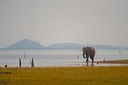 An elephant walks the shores of Lake Kariba in Zimbabwe's Matusadona National Park