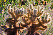 Morning light on cholla cactus, Anza-Borrego Desert State Park, California USA
