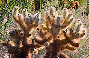 Morning light on cholla cactus, Anza-Borrego Desert State Park, California USA