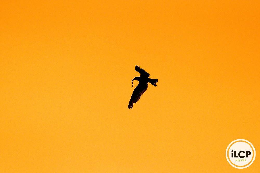Elegant Tern (Thalasseus elegans) flying with fish prey, Santa Cruz Harbor, Santa Cruz, Monterey Bay, California