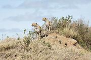 Tanzania, Serengeti National Park three alert cheetahs (Acinonyx jubatus) on a hill