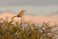 A damara red-billed hornbill perches on a tree top at sunset, Naan Ku Se Wildlife Sanctuary, Namibia.
