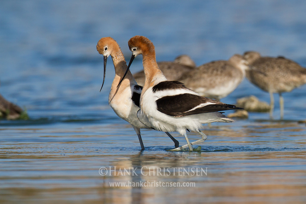 As the male american avocet dismounts after mating, he crosses bills with the female as part of a post-mating ritual.  They walk in a circle with bills crossed and then walk in a straight line, side by side.