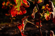 Close up of a reddening vine leaf