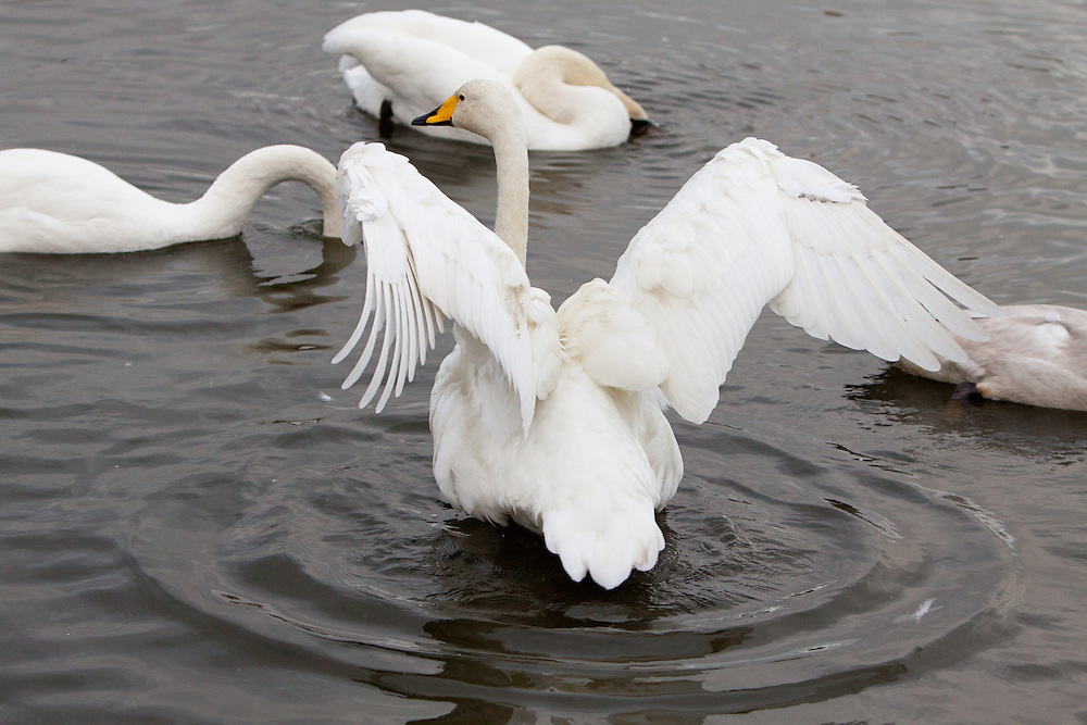 A swan with outstretched wings sits on a lake or large pond.