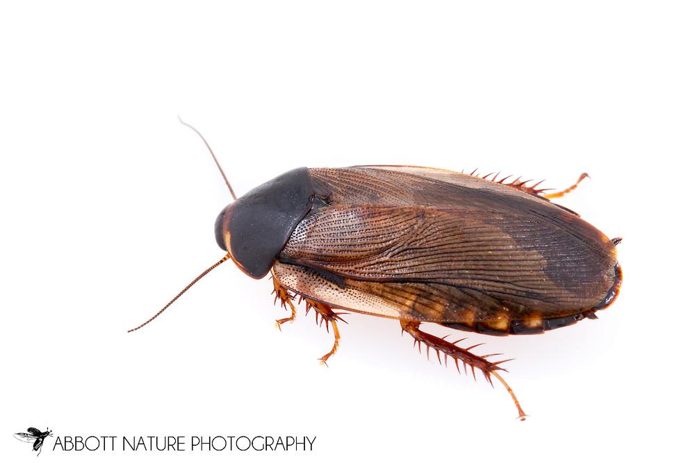 Surinam cockroach or greenhouse cockroach (Pycnoscelus surinamensis)<br /> TEXAS: Williamson Co.<br /> Cedar Park<br /> 25-April-2015<br /> J.C. Abbott