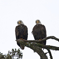 Bald eagles perched. Broughton archipelago, British Columbia