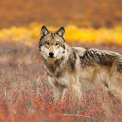 A wild wolf stops for a second before continuing its patrol across its territory in Denali National Park, Alaska.