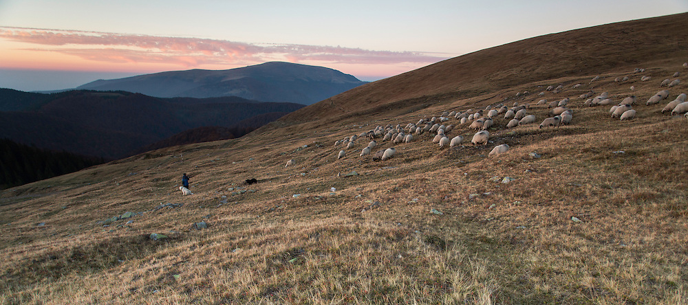 Shepherd leading his Domestic sheep (Ovis aries) to a paddock close to the Meteorological Station of Cuntu. Southern Carpathians, Munții Ṭarcu, Caraș-Severin, Romania.