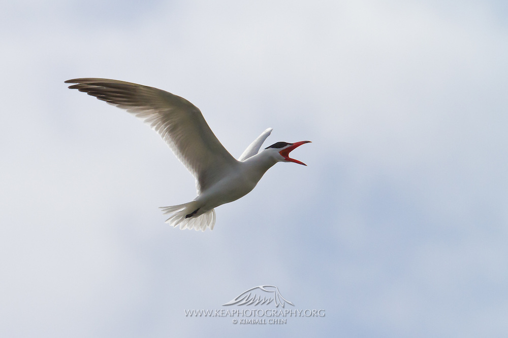 Caspian Tern in flight, Awarua, New Zealand