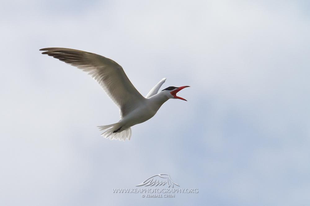Caspian Tern in flight, Awarua, New Zealand