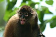El Mono araña, también llamado coatá, es el nombre que reciben los monos del género Ateles, caracterizados por sus miembros largos y su extraordinaria agilidad. El cerebro del mono araña es grande y tiene cierta semejanza con el de los monos superiores del Viejo Mundo. El cuerpo del mono araña está cubierto por un pelaje gris-amarillento, negro, pardo o castaño, que es más claro en las partes inferiores y los ojos están bordeados por un anillo blanco que les confiere un aspecto característico.<br /> <br /> Viven en América Central y del Sur desde el sur México hasta el río Tapajos en la Amazonia brasilera. Son primordialmente arbóreos, cumplen la mayor parte de sus actividades en las densas cubiertas de los bosques y selvas lluviosos y tupidos donde habita.<br /> <br /> Viven en grupos territoriales de 6 a 30 individuos, que comparten un área de 90 a 250 hectáreas y buscan comida en los árboles durante el día, a una altura promedio de 15 m, en subgrupos de 2 a 8 monos. <br /> <br /> Se alimentan de frutos, semillas, hojas, cortezas y madera. Como caso raro entre primates, las hembras tienden a dispersarse en la pubertad para unirse a grupos diferentes, mientras los machos permanecen en su grupo original. Las hembras escogen una pareja del grupo. <br /> <br /> En Panama se pueden encontrar ocho diferentes especies de primates, de los cuales varios son considerados endémicos.<br /> <br />  ©Alejandro Balaguer/ Fundacion Albatros Media