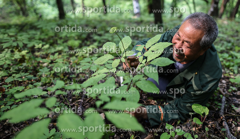 Wang Benjie, a 68-year-old villager, looks over his woods-grown ginsengs at Shihu Village in Ji'an, northeast China's Jilin Province, June 10, 2015. China has a long history of cultivating ginseng, which is considered to be nutritious and to have medicinal value in traditional Chinese medicine. Considered as the world's largest ginseng production area, Jilin produces about 85 percent of China's total ginseng output and 70 percent of the world's output. More than 98 percent of ginseng in Jilin is currently cultivated, not grown in the wild. EXPA Pictures &copy; 2015, PhotoCredit: EXPA/ Photoshot/ Wang Haofei<br /> <br /> *****ATTENTION - for AUT, SLO, CRO, SRB, BIH, MAZ only*****