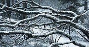 Snow on branches in Mount Tabor Park, Portland, Oregon, USA.