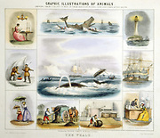 The Whale: Light, perfume, oil, manure, whalebone, food, candles. Hand-coloured lithograph, Thomas Varty, published London c1850. From 'Graphic Illustrations of Animals and Their Utility to Man'
