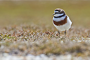 Banded Dotterel, Awarua, New Zealand
