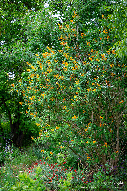 Buddleja globosa AGM. Orange ball tree