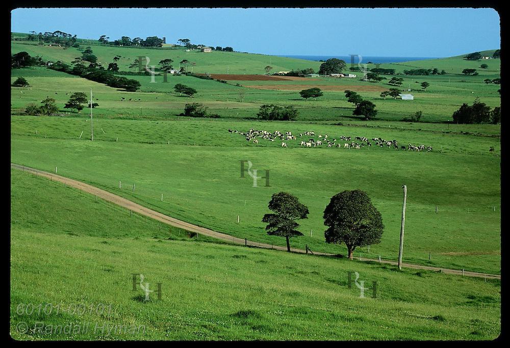 Holstein cattle graze in verdant pastures along the coast south of the town of Kiama, NSW. Australia