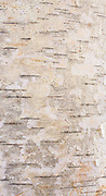 Birch Bark III