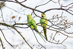 © Licensed to London News Pictures. 08/12/2017. London, UK. A pair of ring-tailed parakeets at sunrise on a cold winter morning in Bushy Park. Forecasters recorded subzero overnight temperatures as Storm Caroline hits Britain. Photo credit: Rob Pinney/LNP