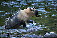 Takin, 羚牛,Budorcas taxicolor, crossing a river 2015-04-21,  Tangjiahe Nature Reserve, Sichuan Province, China.