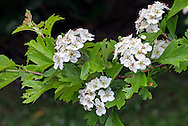 Hawthorn (Crataegus monogyna) flowers and leaves in the spring in the Fraser Valley of British Columbia, Canada