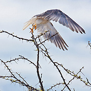 Pale Chanting Goshawk taking flight from an Acacia Tree in Etosha N.P. Namibia.