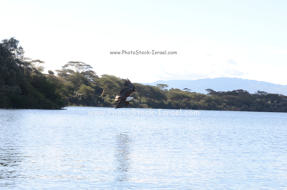African Fish Eagle (Haliaeetus vocifer), Kenya, lake naivasha,