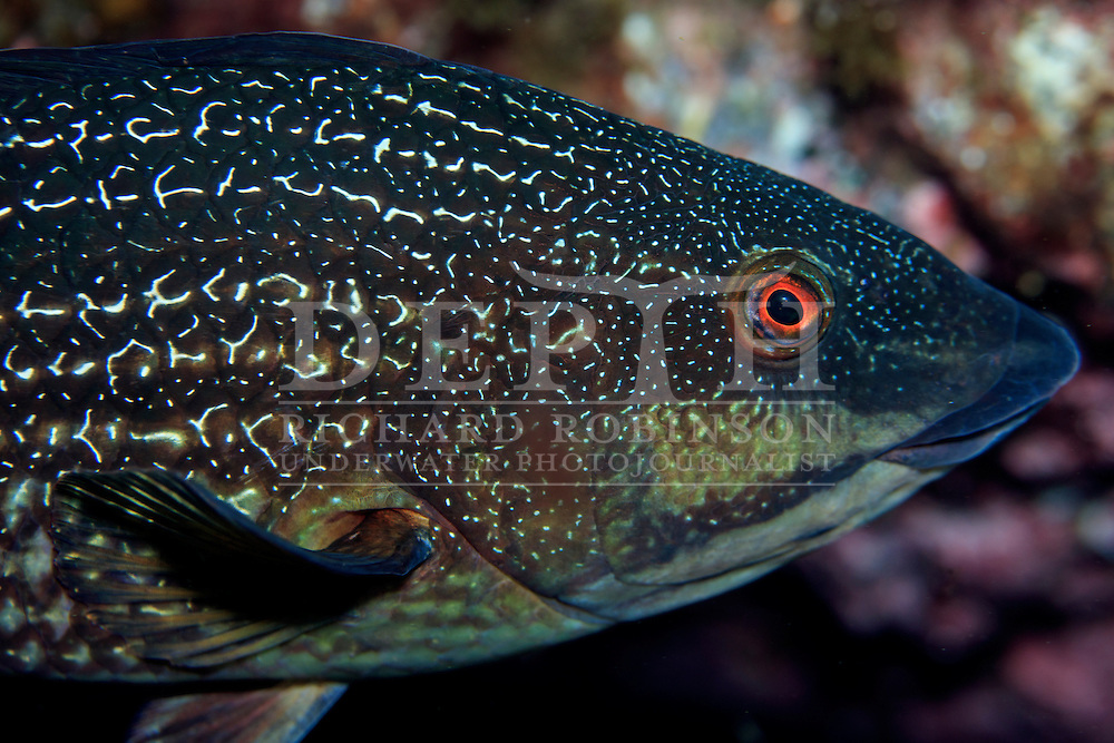Notolabrus incriptus (Green wrasse) Terminal Phase. <br /> Sunday 04 October 2015.<br /> Photograph Richard Robinson &copy; 2015.<br /> Dive Number: 760.<br /> Site: North Meyer Island, Raoul Island, Kermadec Islands, New Zealand.<br /> Dive Buddy: Steve Hathaway.<br /> Boat: Braveheart.<br /> Temperature: 19 degrees. <br /> Maximum Depth: 17.5 meters.<br /> Bottom Time: 78 minutes.<br /> Bottom Time to Date: 42,372 minutes.<br /> Cumulative Time: 42,450 minutes.