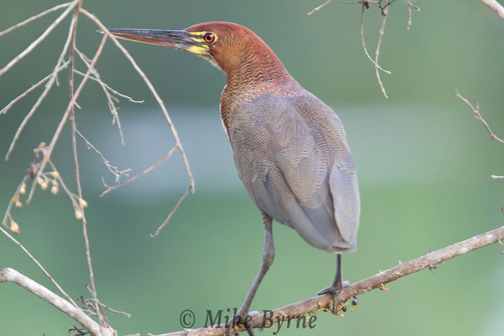 Rufescent Tiger Heron (Tigrisoma lineatum) perched at the top of a tree at Jardim de Amazonia (Mato Grosso, Brazil)