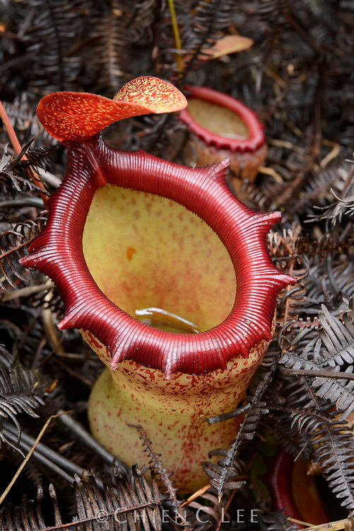 This beautiful pitcher plant (Nepenthes ventricosa) is endemic to the mountains of Luzon Island. Aurora, Philippines.