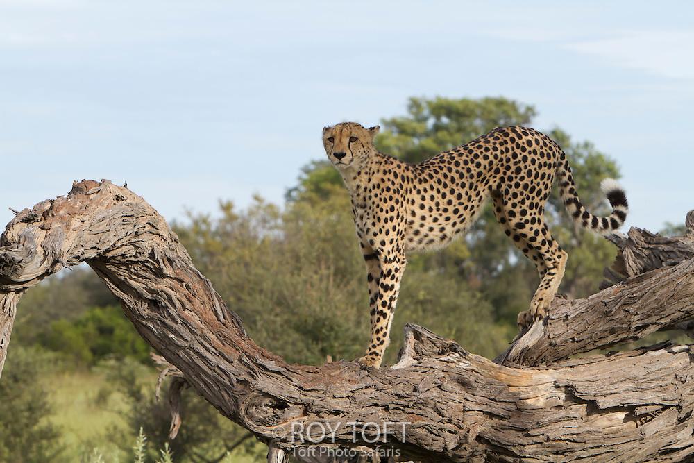 An African cheetah stands alert on top of a fallen tree branch, Botswana, Africa