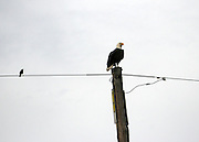 Bald Eagle perched on phone pole with blackbird, Jekyll Island causeway.