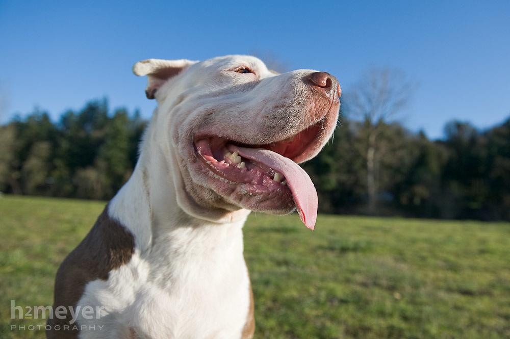 Pit Bull Shar Pei mix.  Owner - Dianna Mandaro , Pet Portrait Photography