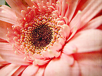 Pink Gerbera Daisy with faded vintage edit and texture