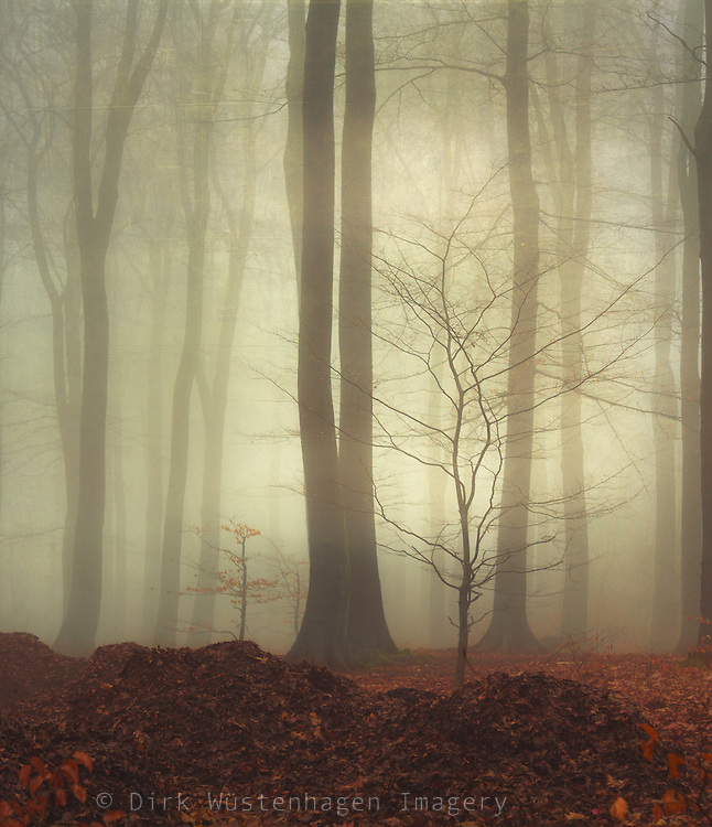 Forest shrouded in mist - softly textured photograph