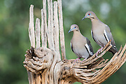 White-winged Dove, Zenaida asiatica , Santa Cruz County, Arizona