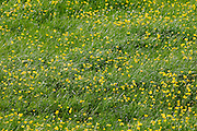 Buttercups growing in a meadow in the Cotswolds, England
