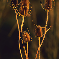 Reeds in evening light, Wingpointe Golf Course, Utah