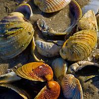 cockles ,seashells