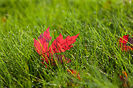 Backlit Red Maple (Acer rubrum) leaves on bright green grass