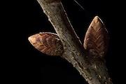 In the spring, the tree sap rises into the buds of the pedunculate oak (Quercus robur). Kiel, Germany | Im Frühjahr steigt der Baumsaft in die Knospen der Stieleiche (Quercus robur). Zuvor haben darin die Blattanlagen gut geschützt überwintert.